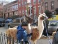 llamas-join-the-parade-23